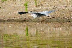 苍鹭飞行水面上 免版税库存图片
