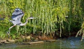 苍鹭飞行 库存照片
