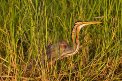 苍鹭鸟沼泽地 库存照片