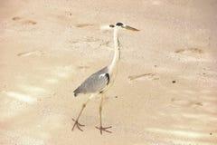 苍鹭鸟走在沙子的,马尔代夫 免版税库存照片