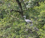苍鹭鸟 库存图片