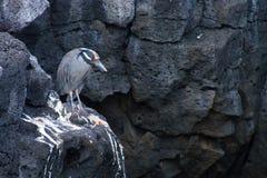 苍鹭 免版税图库摄影