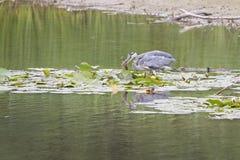 苍鹭cathes鱼 库存照片
