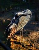 苍鹭firebird清洁羽毛 免版税库存图片