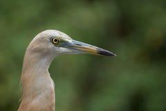苍鹭javan池塘 图库摄影
