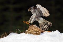 苍鹰、在雪草甸的鸷杀害野兔和着陆有开放翼的,在背景,动物行动s中弄脏了黑暗的森林 免版税库存图片