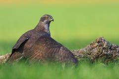 苍鹰狩猎 免版税库存照片