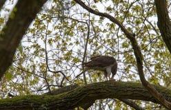 苍鹰的膳食 库存照片