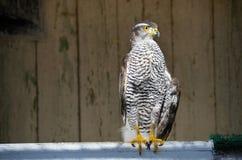 苍鹰-飞行的掠食性动物 库存图片