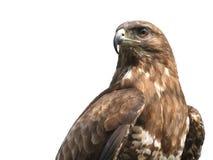 苍鹰 免版税库存照片