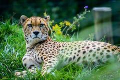 苏丹猎豹男性  库存图片