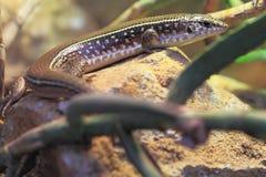 苏丹镀了蜥蜴 免版税库存图片