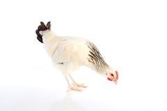 苏克塞斯从英国的母鸡原物 库存图片