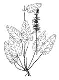 水苏属officinalis boatanical例证 库存图片