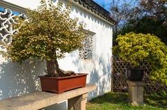 苏州,中国- 2013年10月23日:盆景树在谦逊的管理员` s庭院里 图库摄影