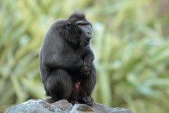 苏拉威西岛顶饰短尾猿。 库存图片
