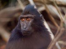 苏拉威西岛顶饰短尾猿, Tangkoko密林储备,北部苏拉威西岛,美妙的印度尼西亚 库存图片