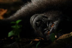苏拉威西岛黑有顶饰短尾猿看在Tangkoko自然保护的照相机 免版税库存照片