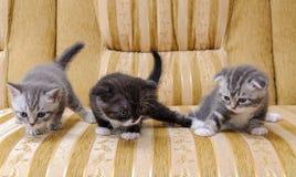 苏格兰人三只小小猫在长沙发养殖 库存照片