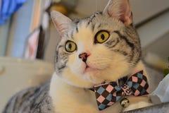 苏格兰人与蝶形领结的折叠猫 图库摄影