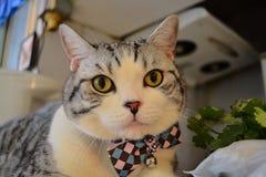 苏格兰人与蝶形领结的折叠猫 免版税库存照片