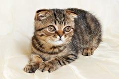 苏格兰人在丝绸布料的折叠小猫 库存照片