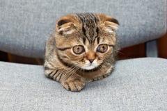苏格兰人在办公室椅子的折叠小猫 免版税库存图片