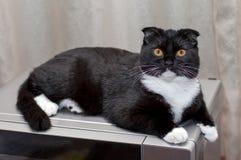 苏格兰人在微波的折叠猫 免版税库存图片