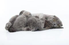 苏格兰人家庭画象折叠猫 库存照片