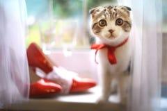 苏格兰人折叠与新娘红色鞋子和酒杯的小猫在窗口基石 库存照片