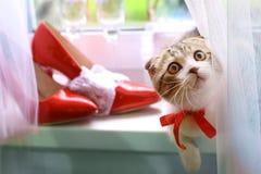 苏格兰人折叠与新娘红色鞋子和酒杯的小猫在窗口基石 免版税库存图片