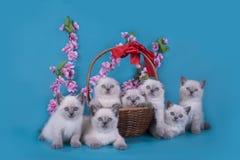 苏格兰人折叠在一个篮子的小猫在蓝色背景 库存图片