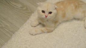 苏格兰人折叠小猫在白色地毯说谎 股票录像