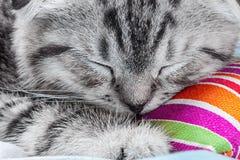 苏格兰人折叠小猫睡觉 库存照片