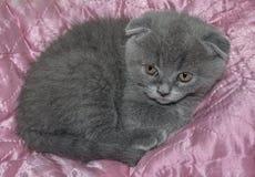 苏格兰人折叠小猫 免版税库存图片