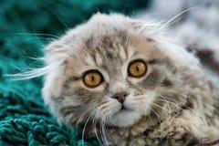 苏格兰人折叠小猫 免版税库存照片