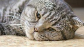 苏格兰人折叠猫不适 股票视频