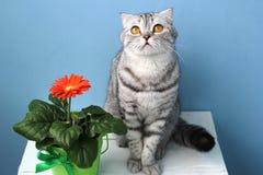 苏格兰人折叠猫和一朵花在罐 免版税库存照片