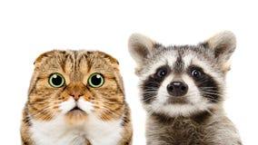 苏格兰人折叠猫和浣熊画象  免版税库存图片