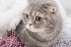 苏格兰人折叠猫品种特写镜头 库存照片