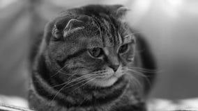 苏格兰人折叠猫在家 股票视频
