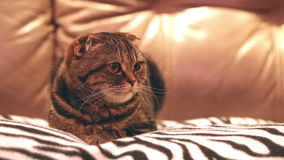 苏格兰人折叠猫在家 股票录像