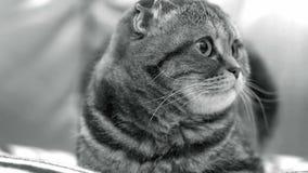 苏格兰人折叠猫在家 影视素材