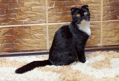 苏格兰人折叠猫在房子里在墙壁 免版税库存照片