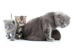 苏格兰人折叠猫家庭画象  库存图片
