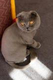 苏格兰人折叠猫浮动了 库存照片