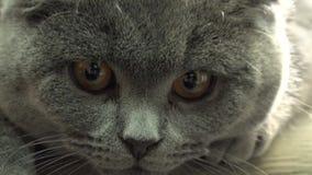 苏格兰人折叠猫特写镜头 超4K HD 影视素材