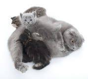 苏格兰人折叠猫系列纵向  库存图片