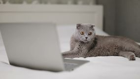 苏格兰人折叠猫观看在膝上型计算机的一部电影 股票录像