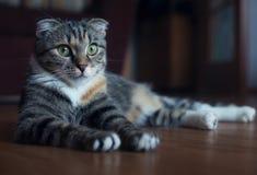 苏格兰人折叠猫-家庭喜爱 图库摄影